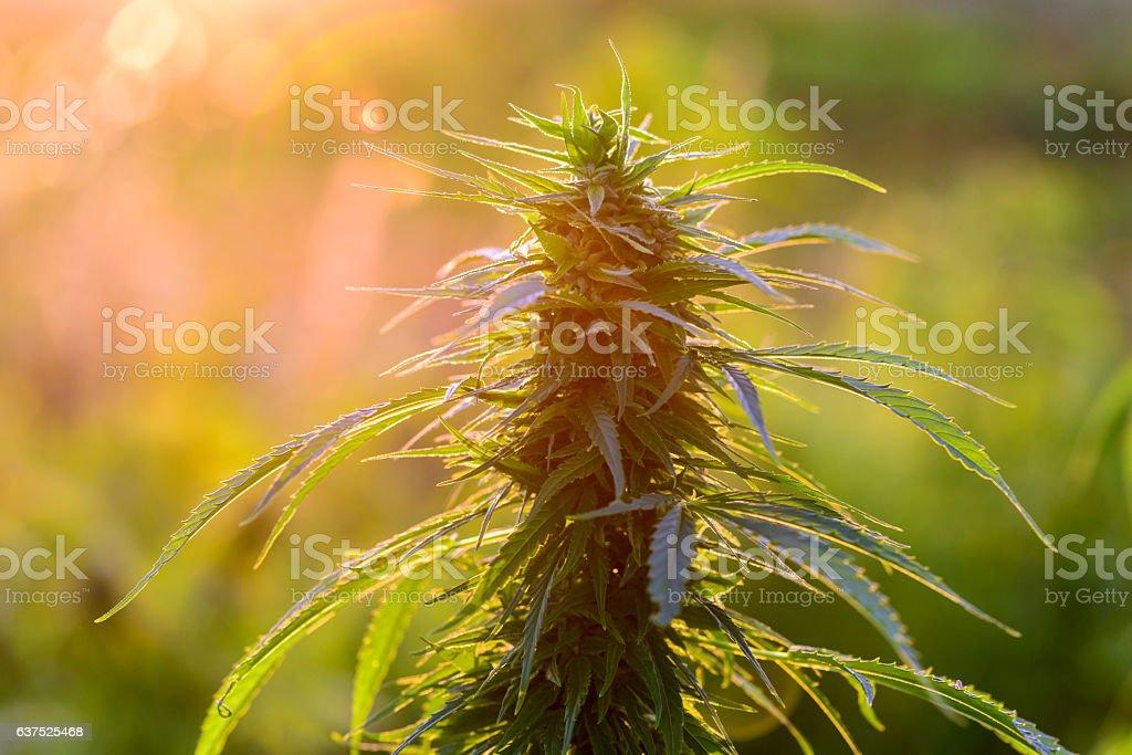 Natural marijuana plant stock photo