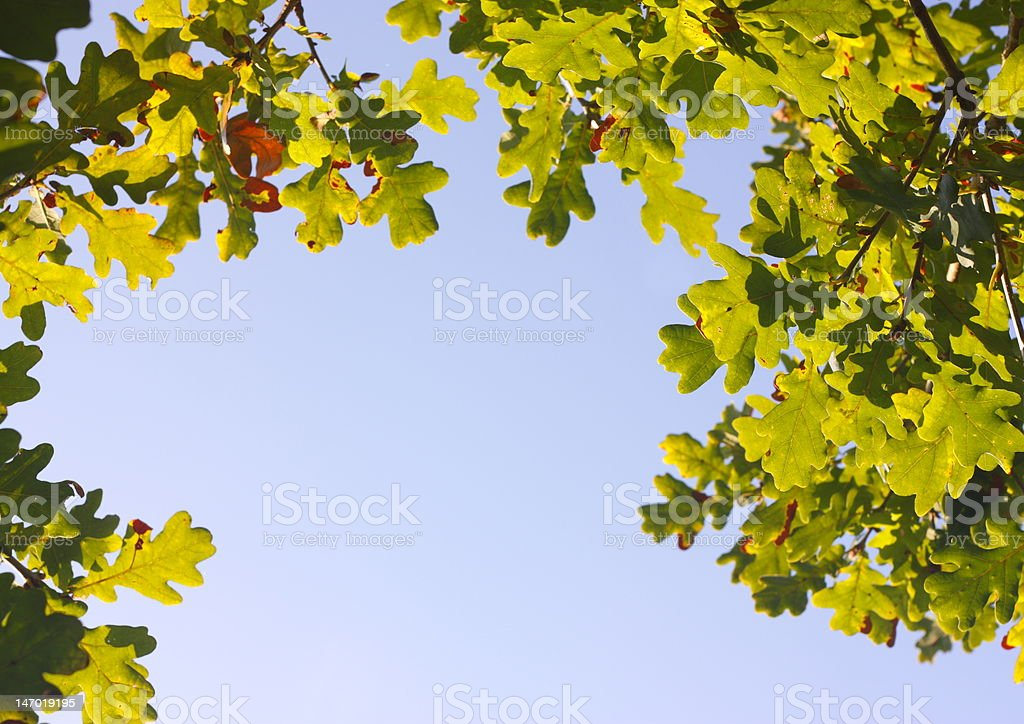 Natural oak leaf frame. royalty-free stock photo