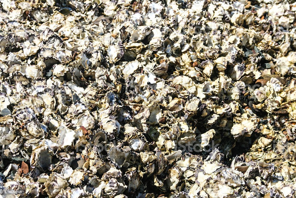Natural oysters growing on rock. stock photo
