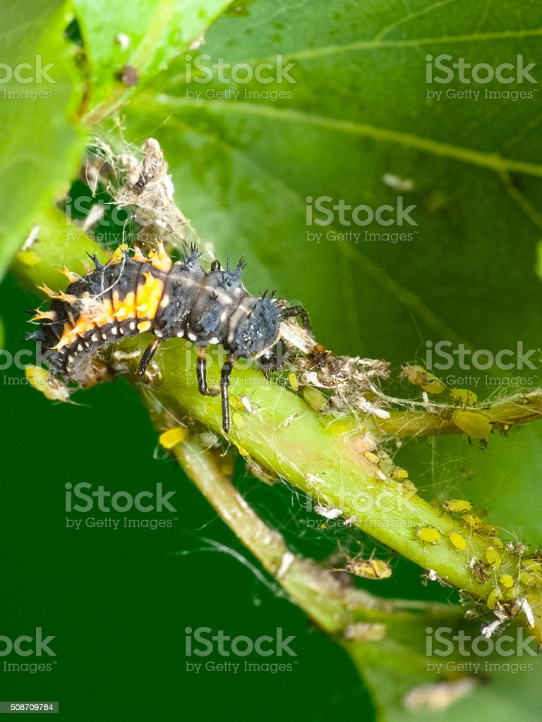 Natural pest control. Larva Ladybug and aphids stock photo