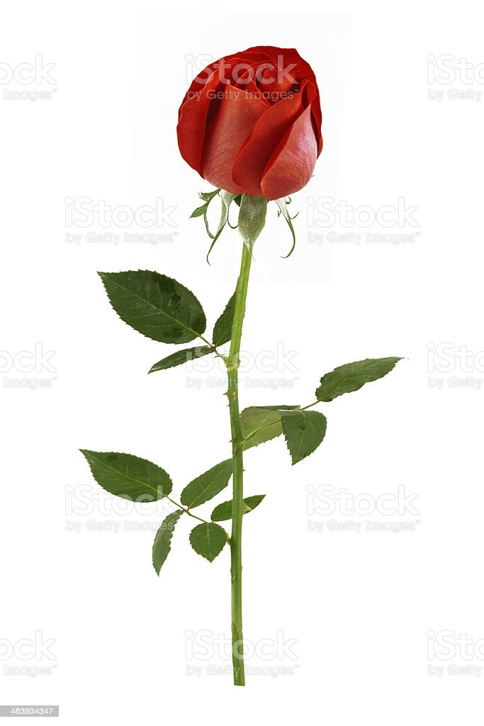natural red rose, rose petals began to open stock photo