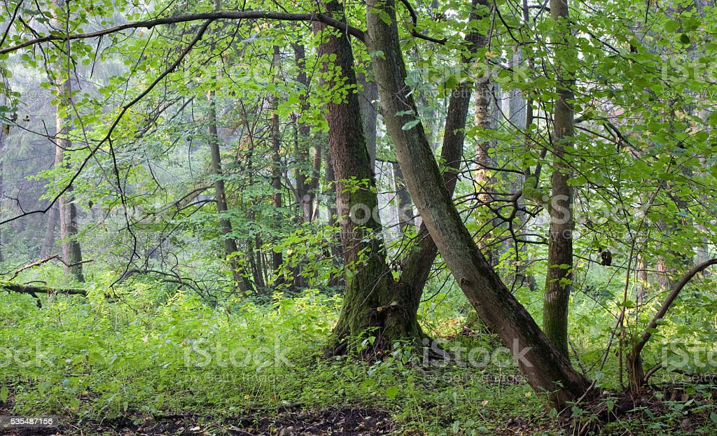 Natural riparian stand in autumn morning mist stock photo