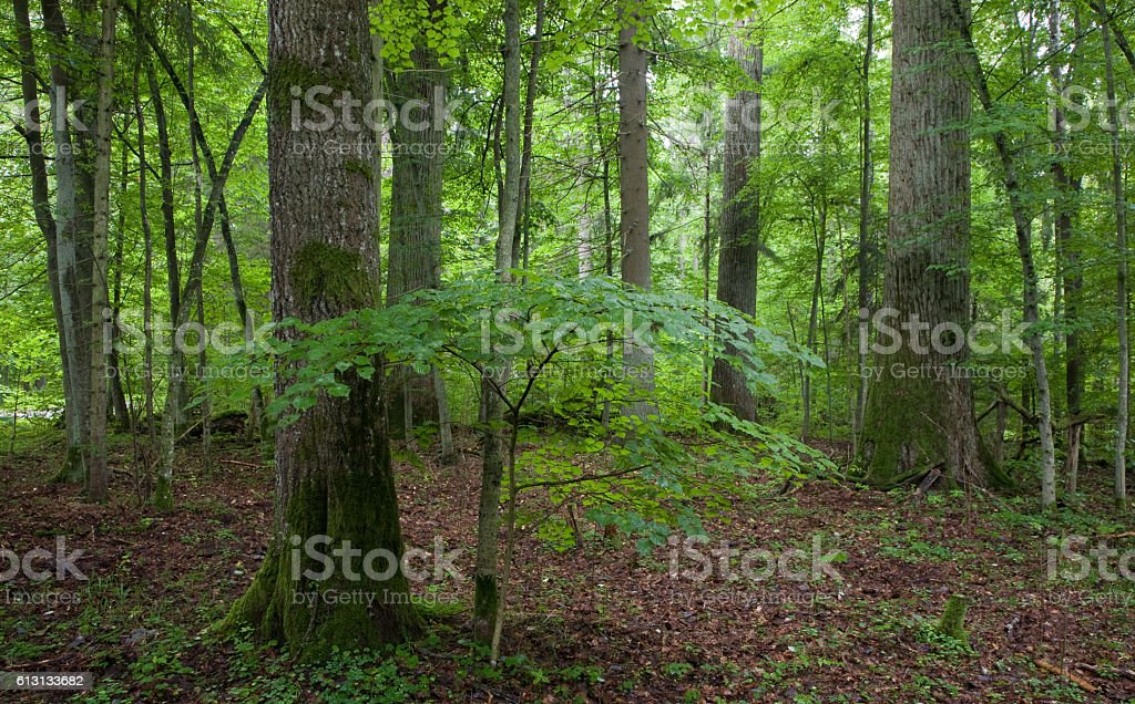 Natural stand of Landscape Reserve with oak tree moss wrapped stock photo