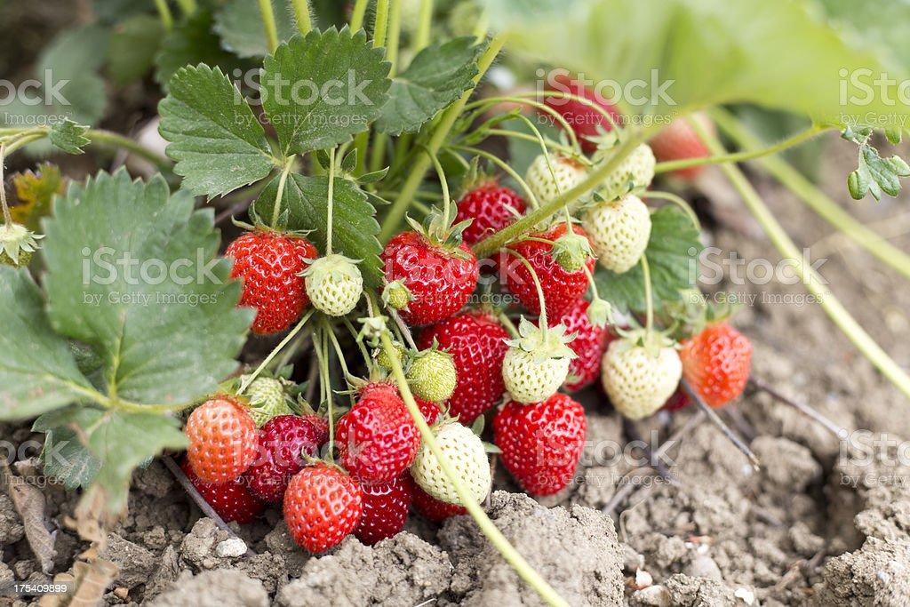 Natural strawberries stock photo