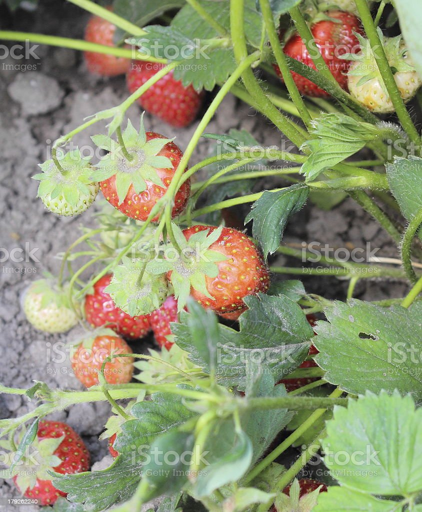 Natural strawberry bush growing in the garden royalty-free stock photo