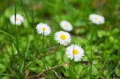 Natural summer background with daisies. Bright flowers in green