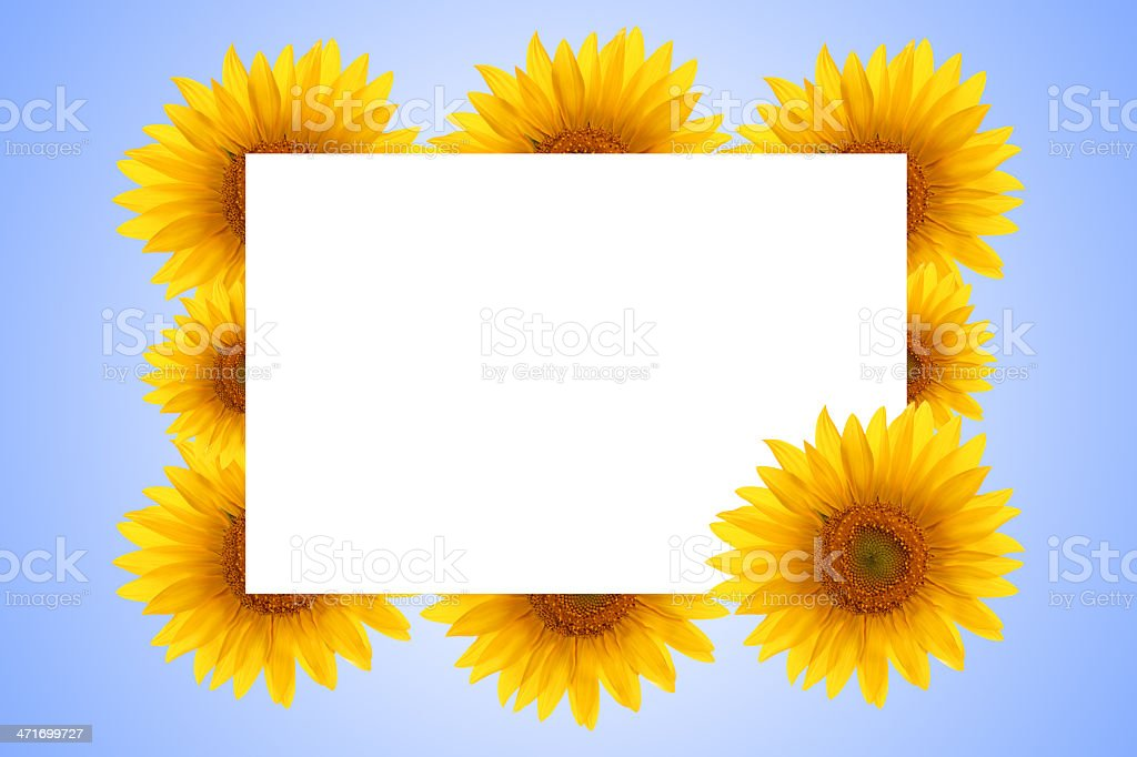 Natural sunflower on the background of sky royalty-free stock photo