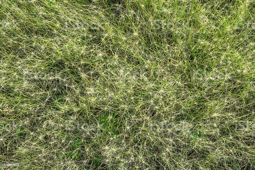 Natural texture. Bristly grass stock photo