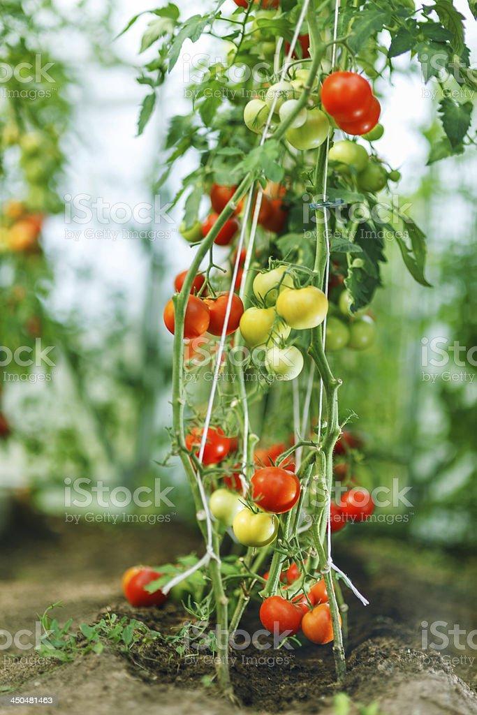 Natural tomato greenhouse royalty-free stock photo