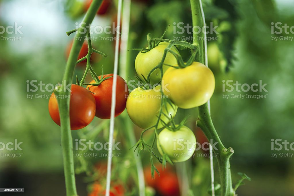 Natural tomato greenhouse royalty-free stock photo