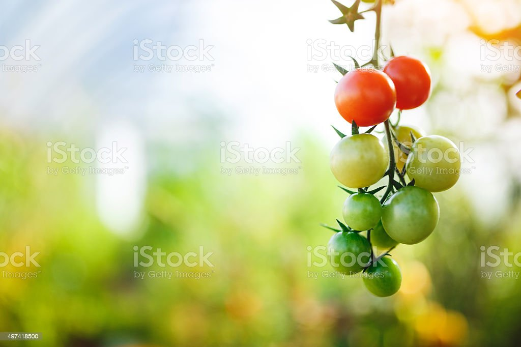 Natural tomato greenhouse stock photo