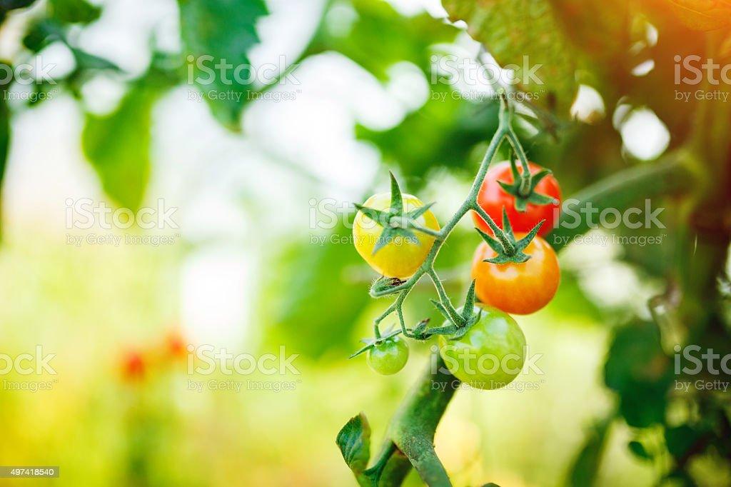 Natural tomato greenhouse stock photo