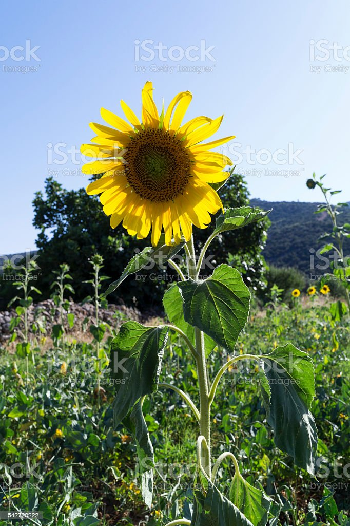 Natural unretouched sunflower stock photo