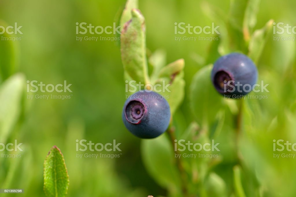 Natural wild huckleberries branch in forest stock photo