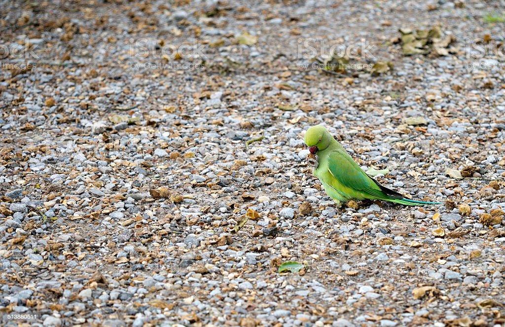 Naturalised wild parakeet, London, UK. stock photo