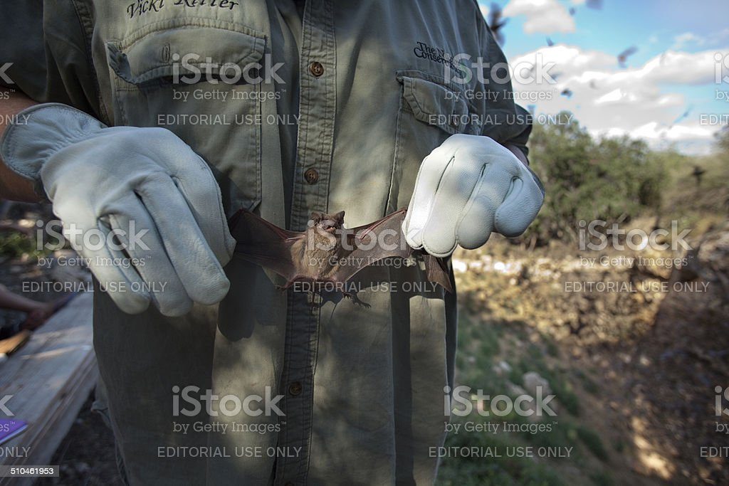 Naturalist holds Mexican free-tailed bat Texas stock photo