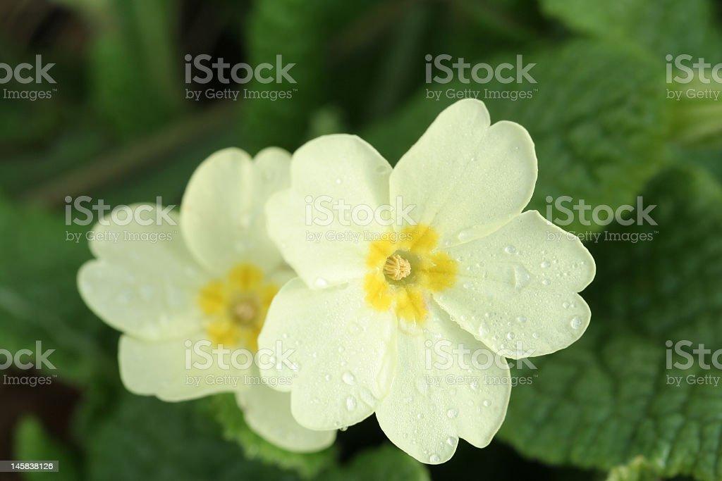 naturallised primroses stock photo