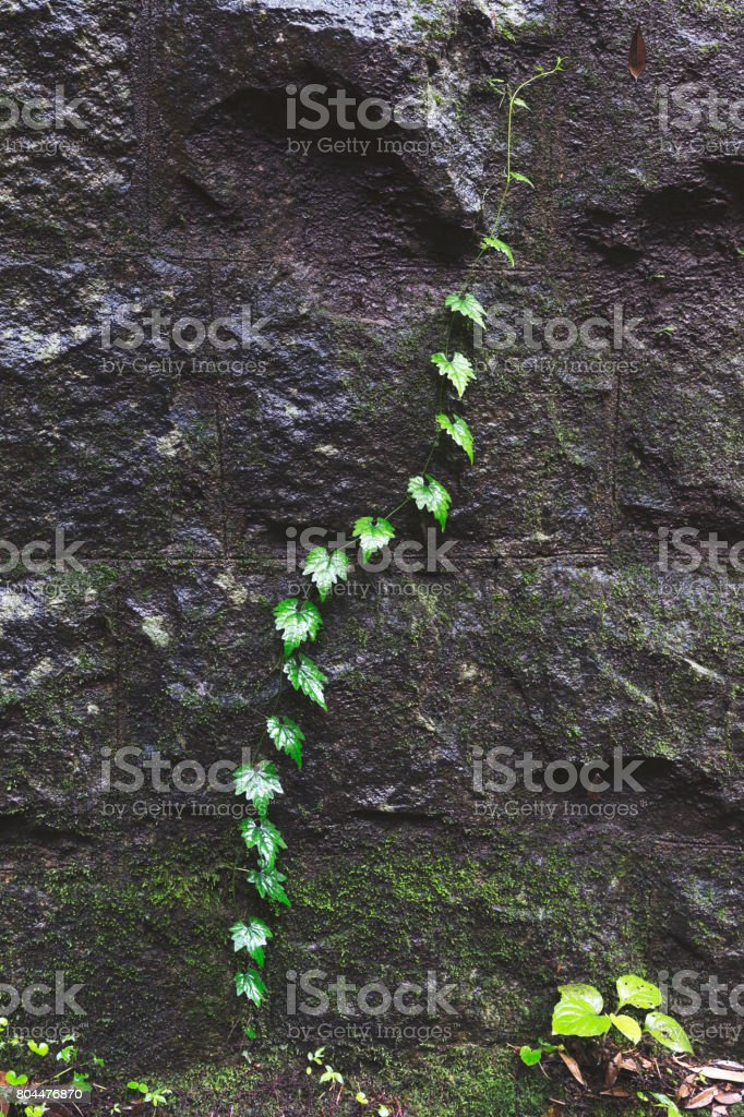 Naturally occurring leaves emerging in a pattern from the cracks of the stone wall stock photo