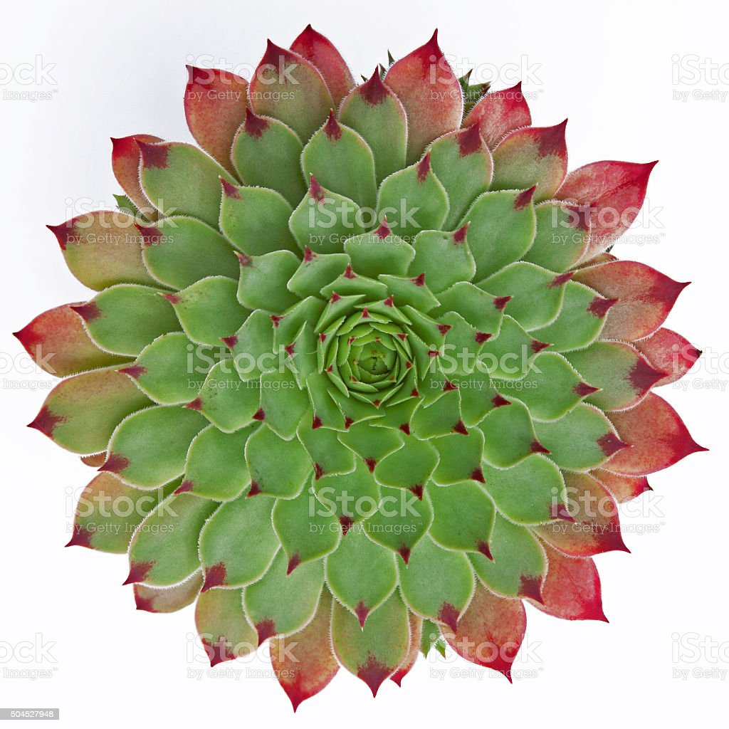 Naturally symmetrical isolated succulent plant ( Jovibarba hirta ) stock photo