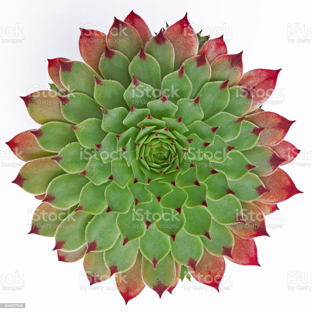 Naturally symmetrical isolated succulent plant ( Jovibarba hirta ) stock photo