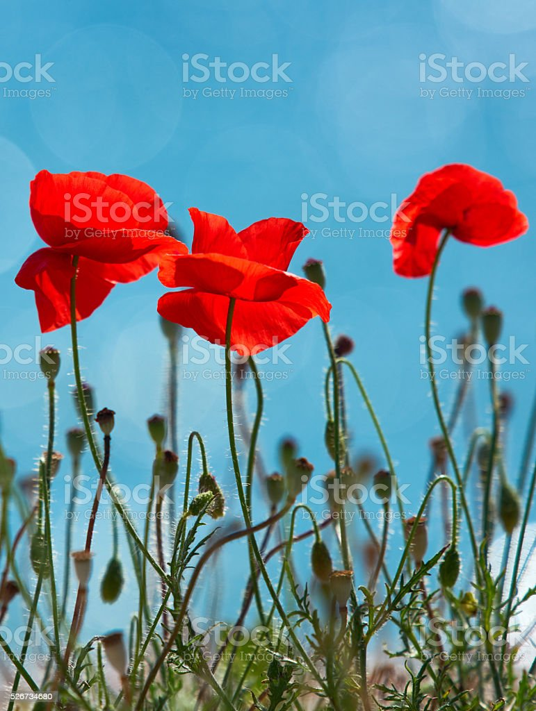 nature and it's beautiful poppies stock photo