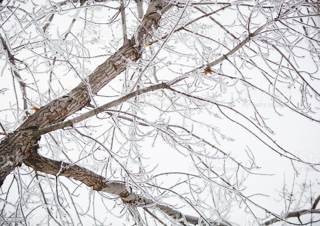 Nature Background - Bare And Frozen Maple Tree With Hoarfrost stock photo