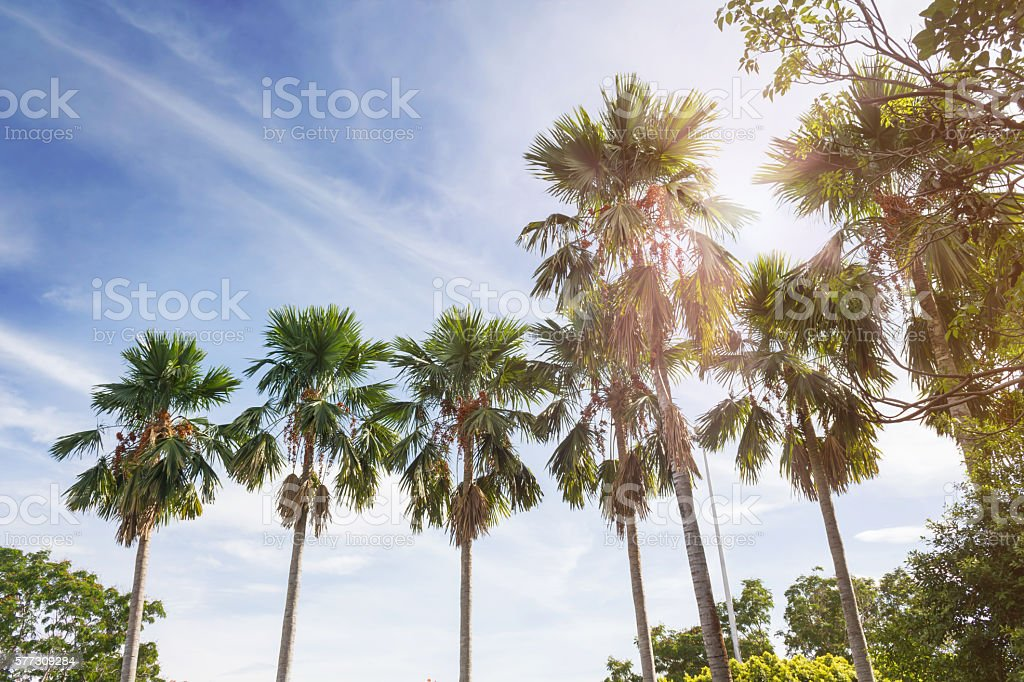 Nature background betel palm tree row in sunny sky stock photo