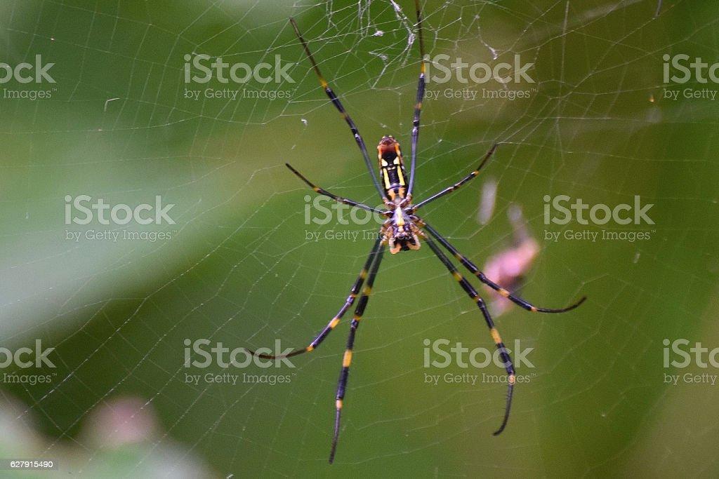 Nature background black giant spider inside web stock photo