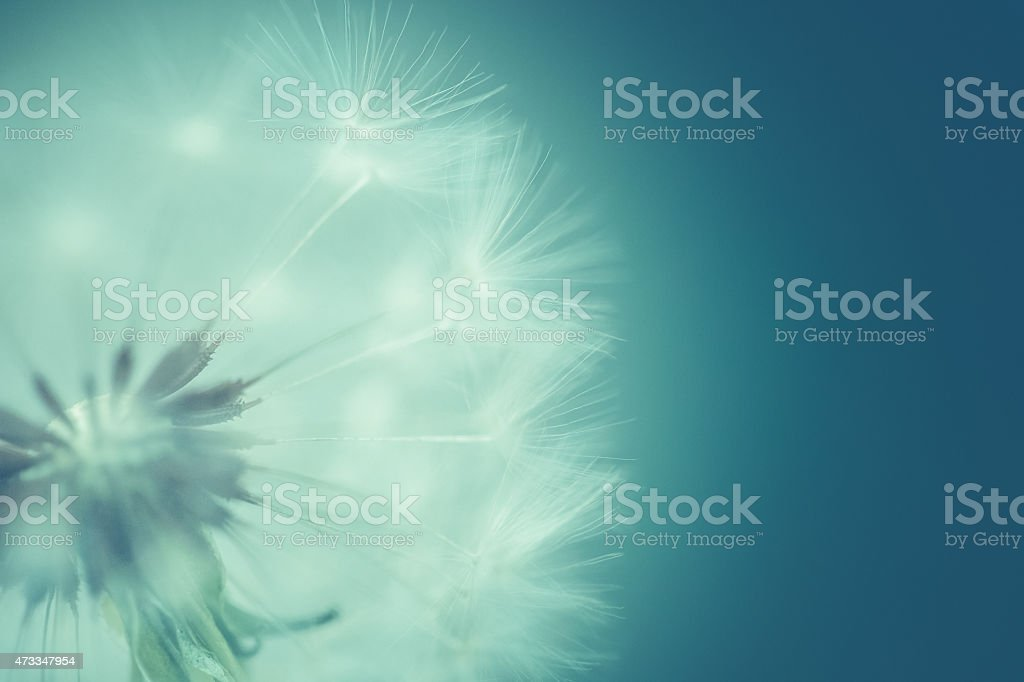 Nature Background Dandelion - Soft & dreamy closeup stock photo
