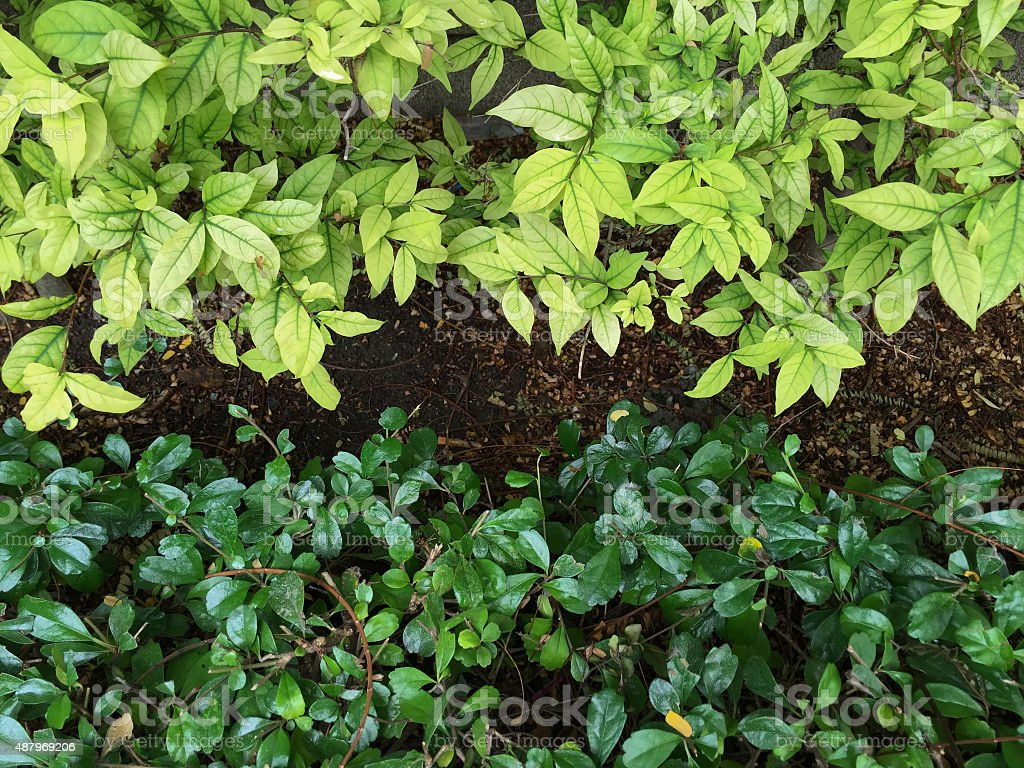 Nature Background of a Leafy Green Garden Hedge stock photo
