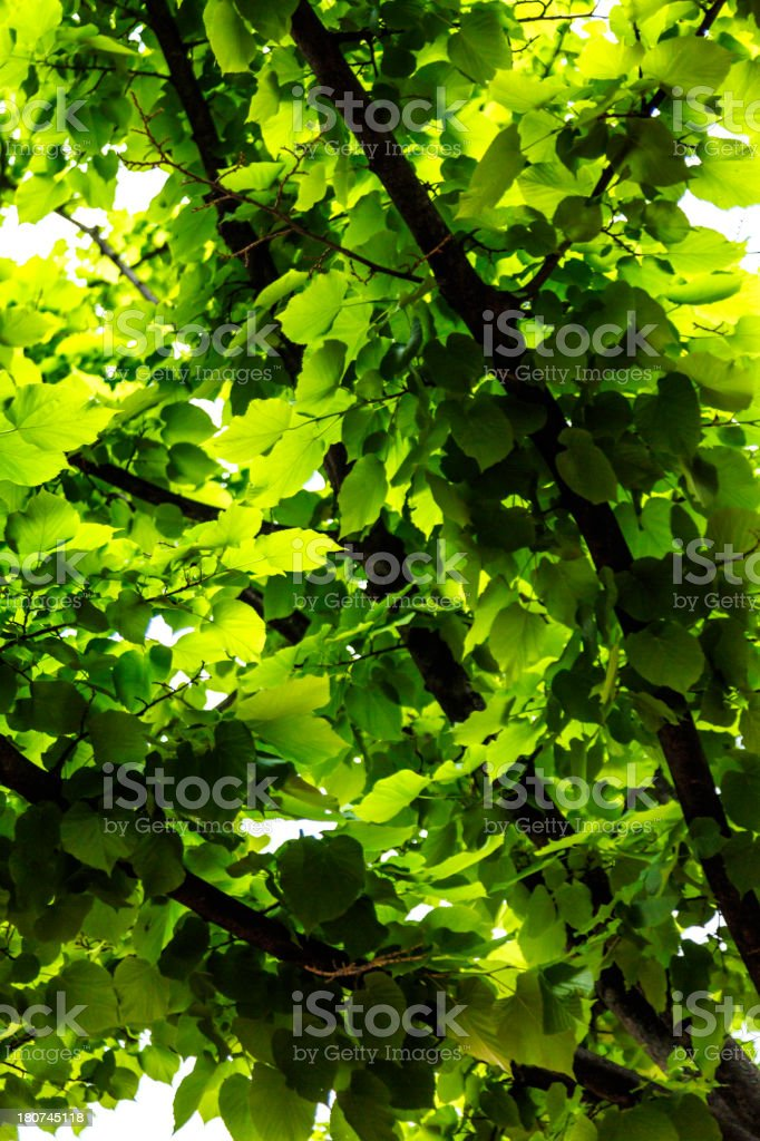 Nature background of fresh green leaves on tree royalty-free stock photo