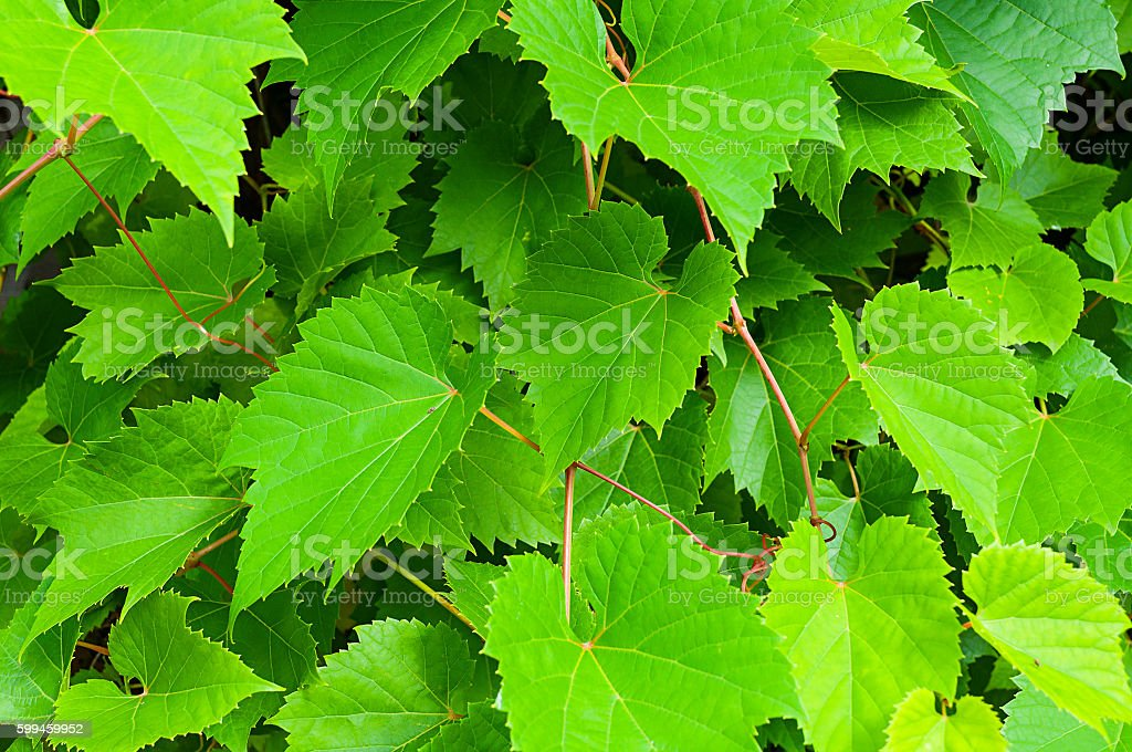 Nature background of grape leaves - in latin Vitis. stock photo