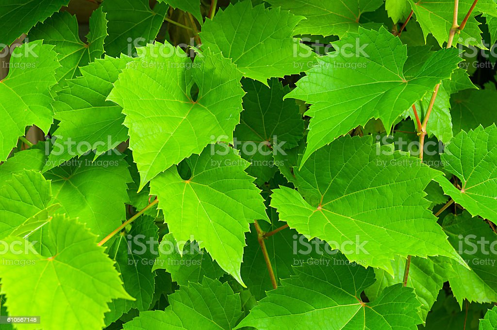 Nature background of grape leaves - in latin Vitis stock photo