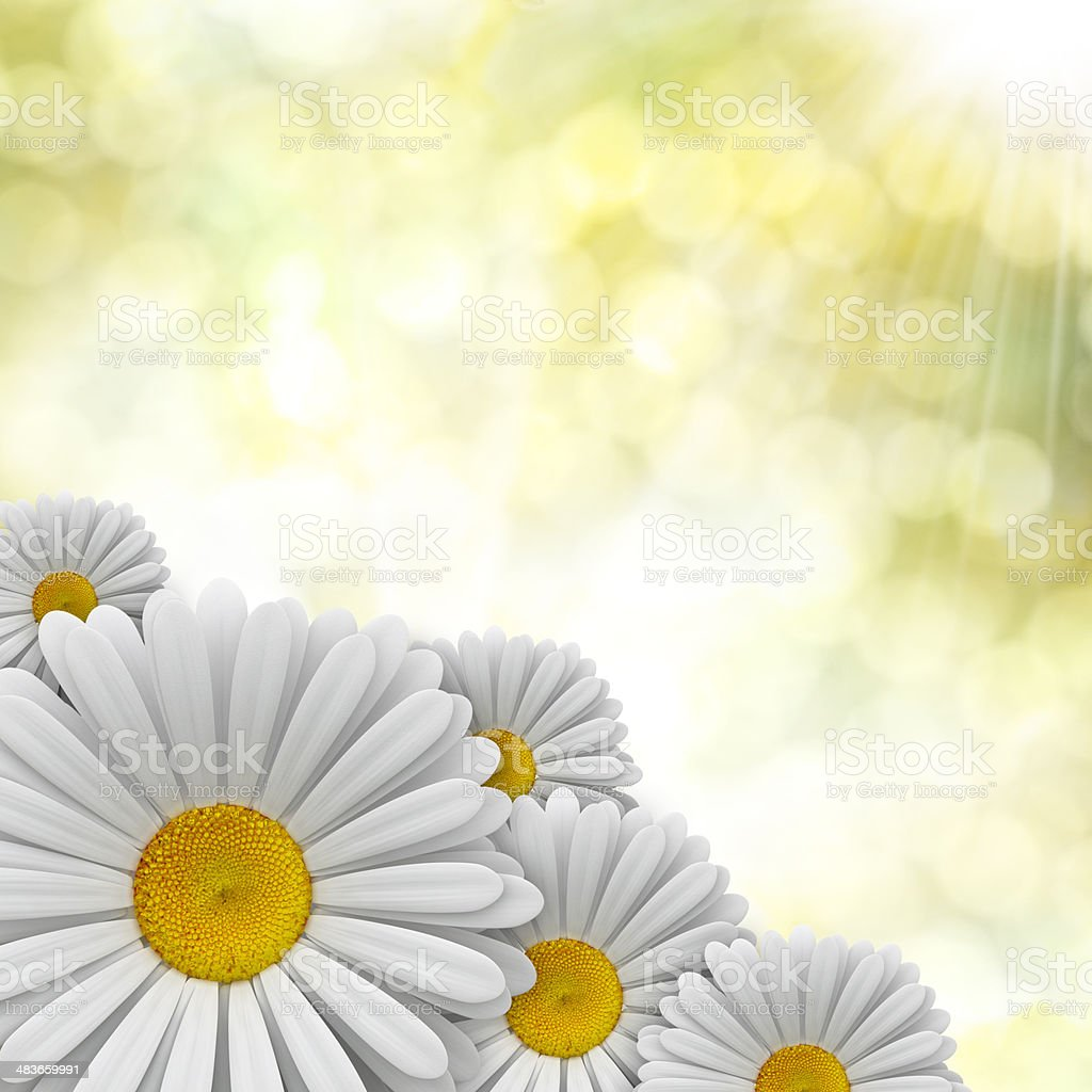 Nature background - perfect daisies royalty-free stock photo