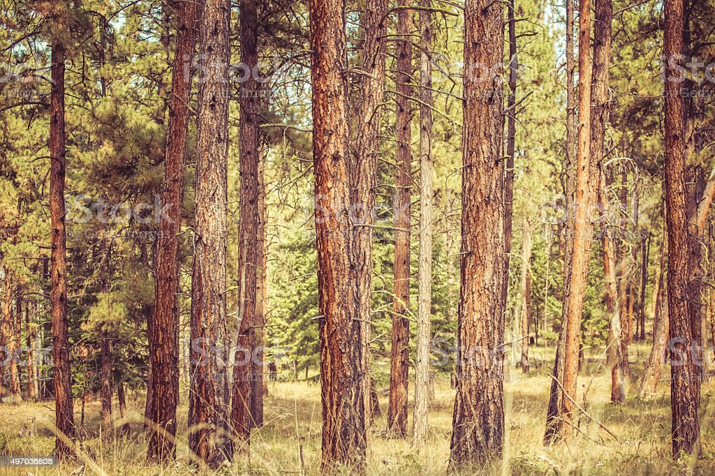Nature Background - Tall Pine Trees In A Montana Forest stock photo