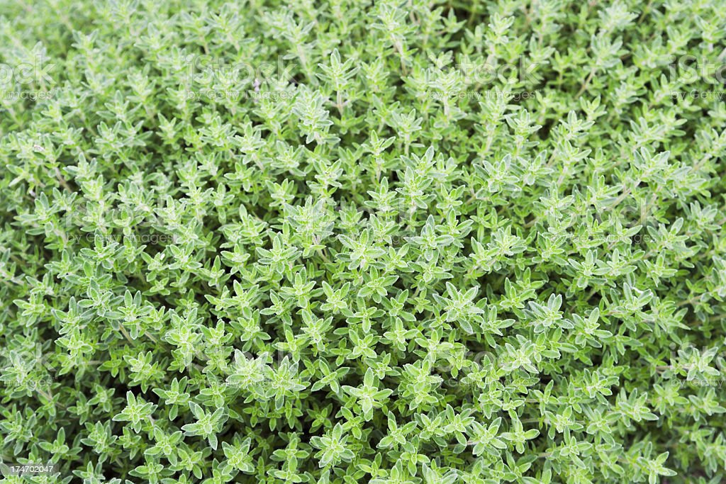 Nature Background - Thyme royalty-free stock photo