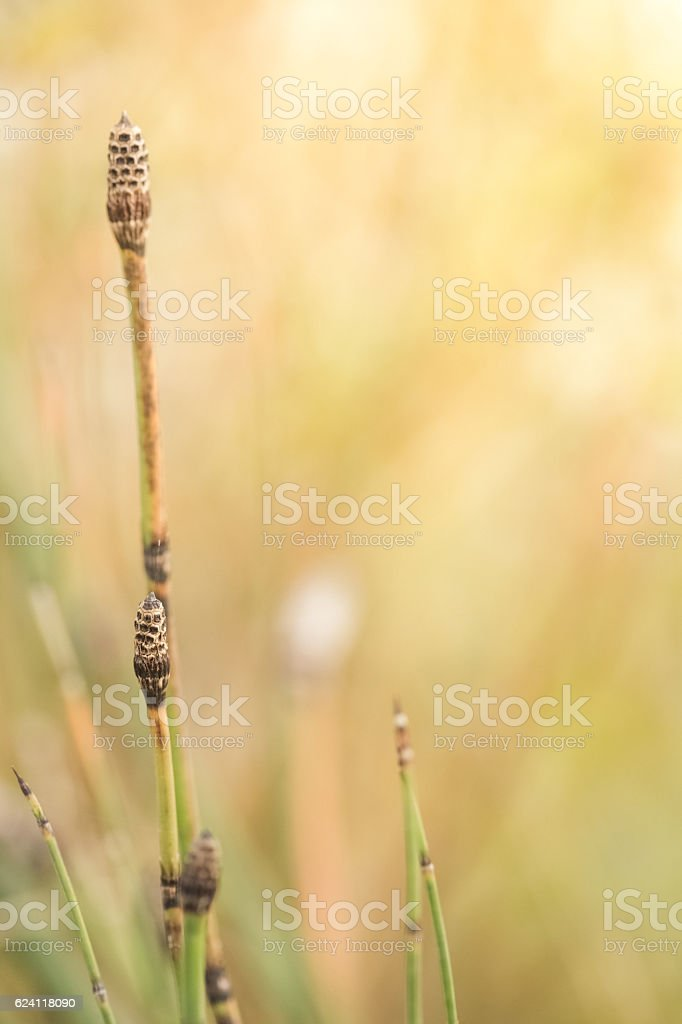 Nature Background With Horsetail Grass And Golden Bokeh stock photo