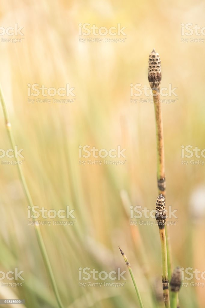 Nature Background With Horsetail Grass stock photo