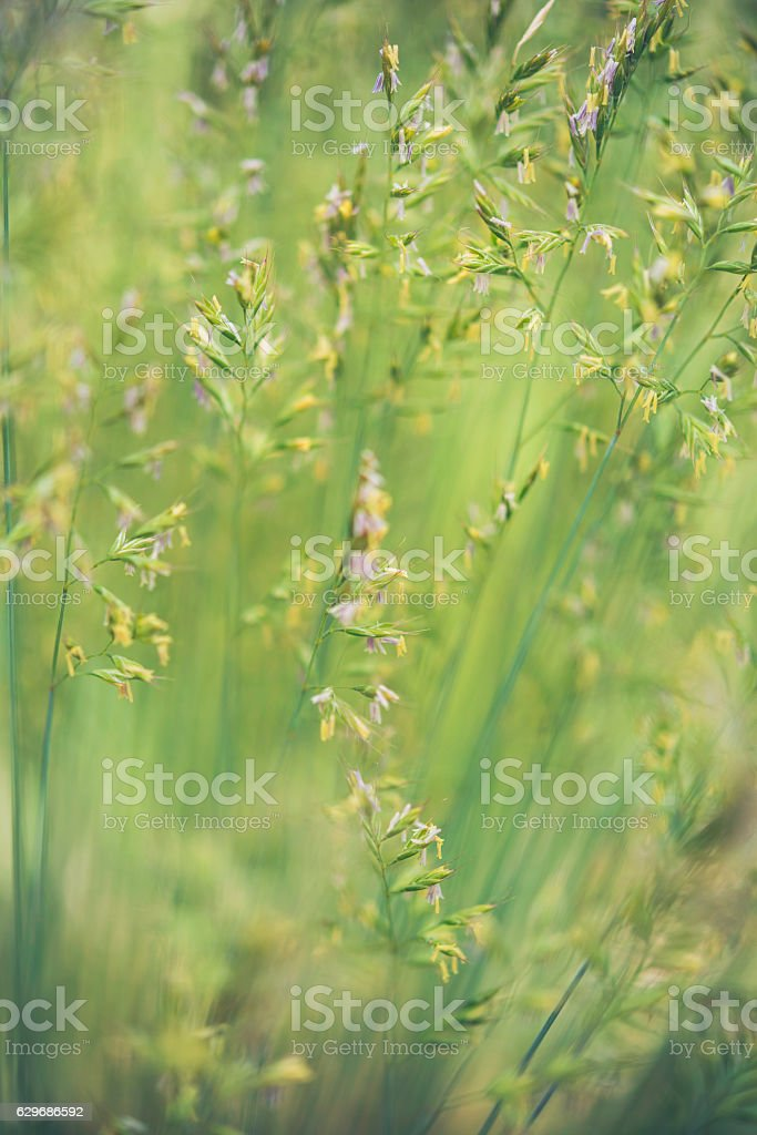 Nature backgrounds. Beautiful soft grasses growing wild in natural sunlight stock photo