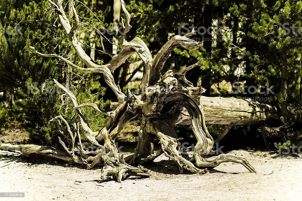 Nature:  Beautiful caligraphy from the roots of a fallen tree. royalty-free stock photo