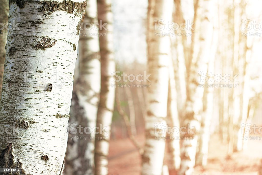 Nature blurred background with birch tree stock photo