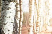 Nature blurred background with birch tree