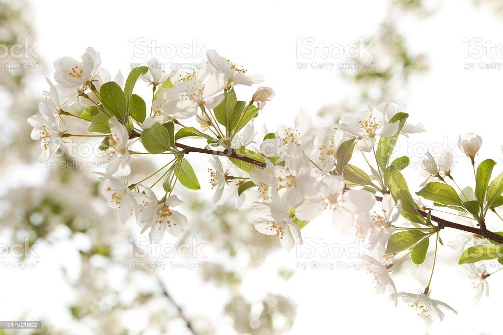 nature cherry blossoms stock photo