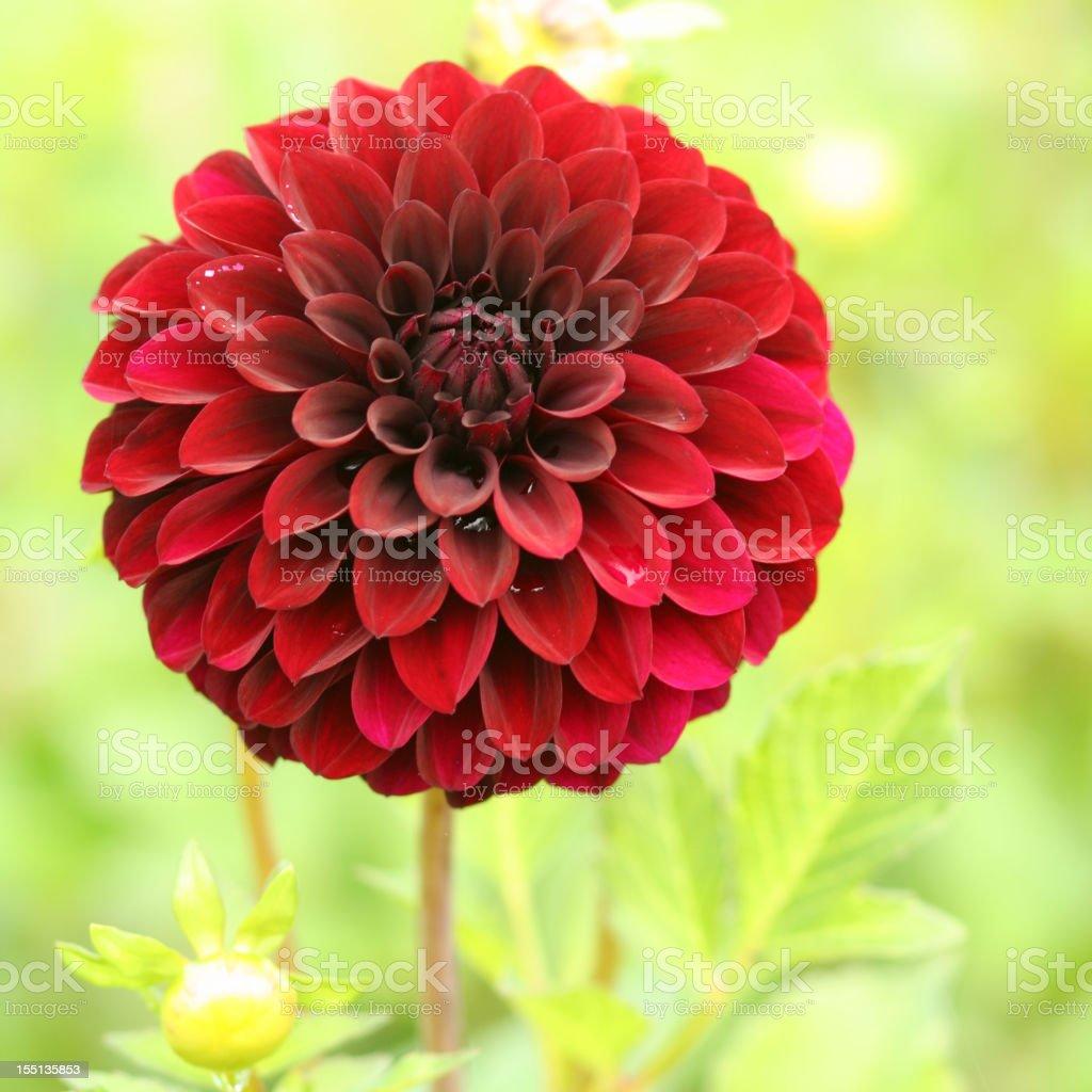 Nature: Chrysanthemum royalty-free stock photo