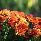 Nature: Chrysanthemum