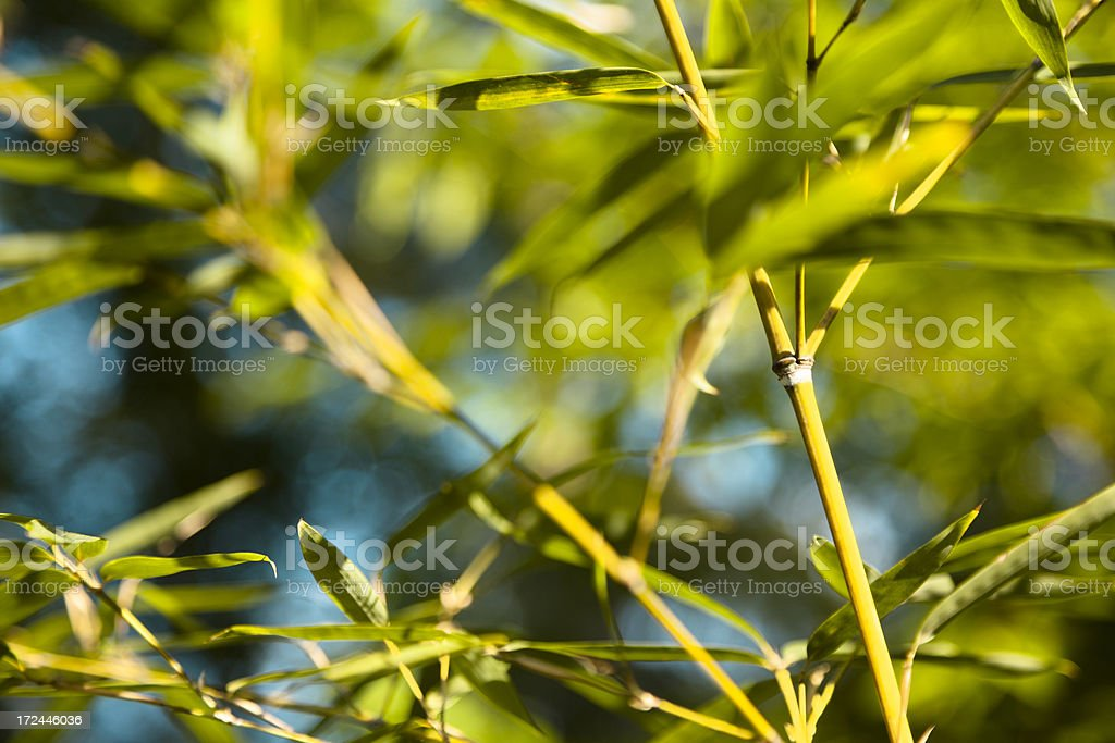 Nature:  Close up of young bamboo stalks in Spring. royalty-free stock photo