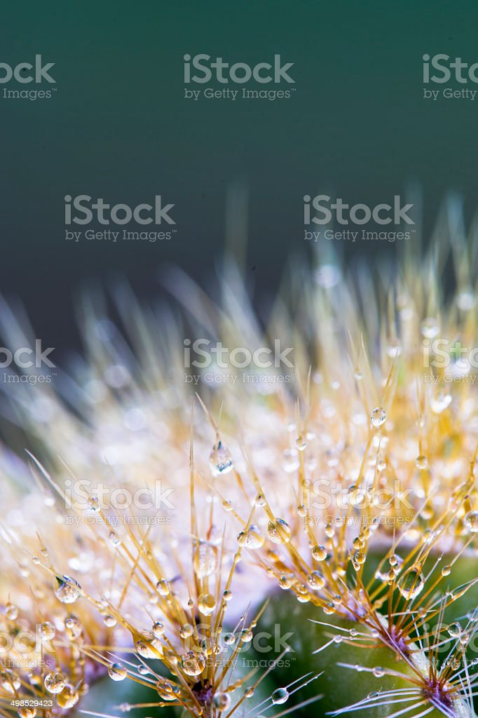 Nature Closeup: Cactus with Dew Drops royalty-free stock photo