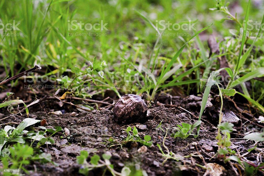 Natur-Konzept: Walnut Seed Lizenzfreies stock-foto
