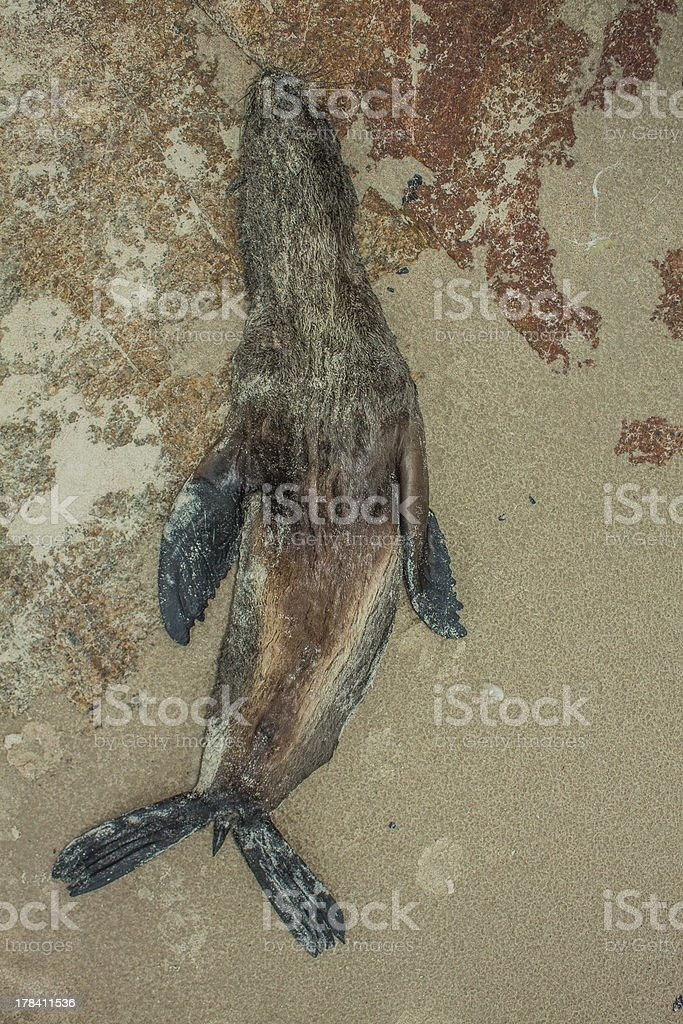 Nature Disaster Dead Seal on beach stock photo