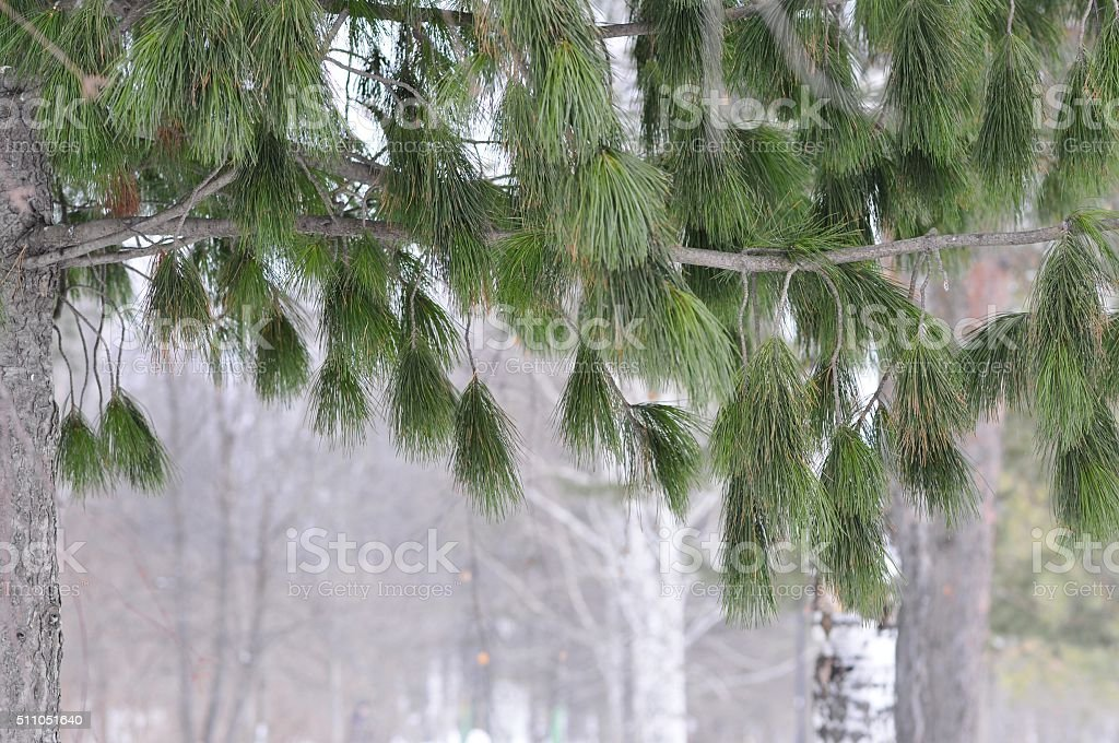 nature, evergreen tree branch stock photo